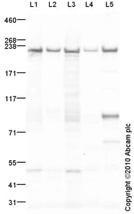 Western blot - non-muscle Myosin IIA antibody (ab89837)