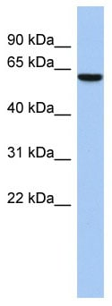 Western blot - L2 antibody (ab89866)