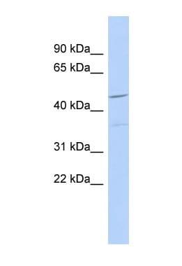 Western blot - FAM81A antibody (ab89948)