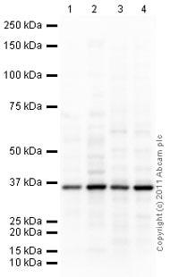 Western blot - Anti-Lactate Dehydrogenase Isoenzyme V antibody (ab9002)