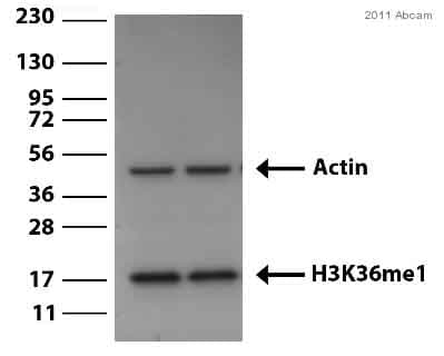 Western blot - Histone H3 (mono methyl K36) antibody - ChIP Grade (ab9048)