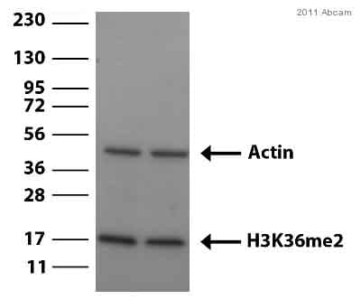 Western blot - Histone H3 (di methyl K36) antibody - ChIP Grade (ab9049)
