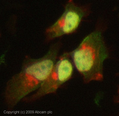 Immunocytochemistry/ Immunofluorescence - Daxx antibody [DAXX-01] (ab9091)