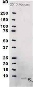 Western blot - M13 Bacteriophage Coat Protein g8p antibody [RL-ph2] (ab9225)