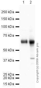 Western blot - alpha 1 Antichymotrypsin antibody (ab9374)