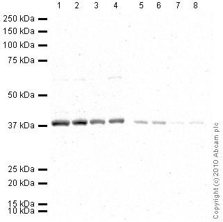 Western blot - GAPDH antibody (HRP) - Loading Control (ab9385)