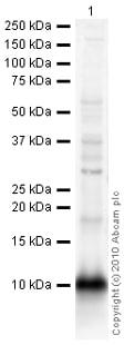 Western blot - PF4 antibody (ab9561)
