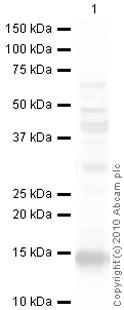 Western blot - CXCL11 antibody (ab9955)