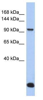 Western blot - MVP antibody (ab90009)