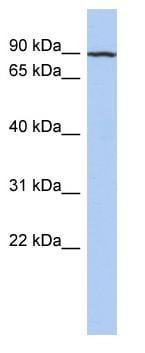 Western blot - KANK3 antibody (ab90014)