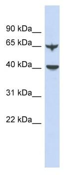 Western blot - APOBEC4 antibody (ab90050)
