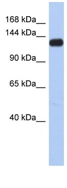 Western blot - KCNH7 antibody (ab90056)