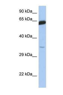 Western blot - TCF7 antibody (ab90136)