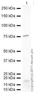 Western blot - Lamin B1 antibody (ab90169)