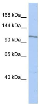Western blot - MAP4K4 antibody (ab90292)