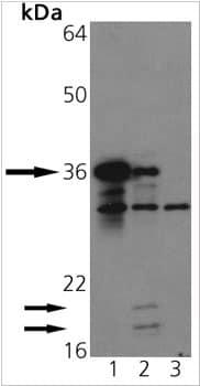 Western blot - Anti-Caspase-3 antibody (ab90437)