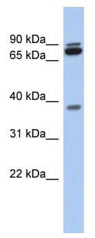 Western blot - PRR19  antibody (ab90470)
