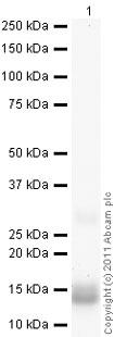 Western blot - Anti-Procalcitonin antibody [13F2] (ab90489)