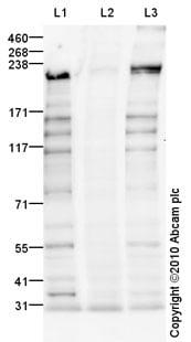 Western blot - BRCA1 (phospho S1423) antibody (ab90528)