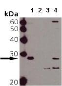 Western blot - Hsp27 (phospho S15) antibody (ab90538)