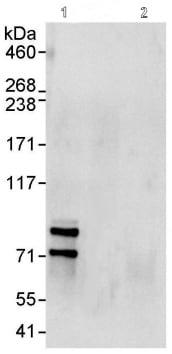 Immunoprecipitation - Cullin 2 antibody (ab90652)