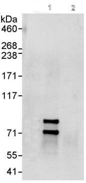 Immunoprecipitation - Cullin 2 antibody (ab90653)