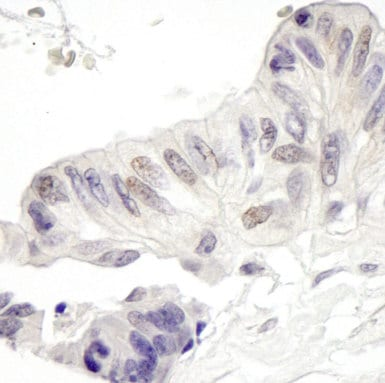 Immunohistochemistry (Formalin/PFA-fixed paraffin-embedded sections) - MAML1 antibody (ab90654)