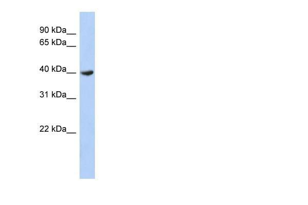 Western blot - DPF2 antibody (ab90693)