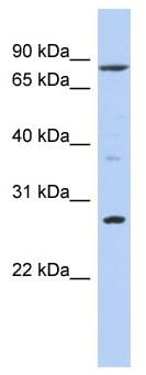 Western blot - KLF12 antibody (ab90702)