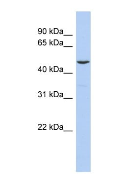 Western blot - FLI1 antibody (ab90705)