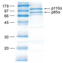 SDS-PAGE - PI 3 Kinase p110alpha + PI 3 kinase p85 alpha protein (Active) (ab90730)