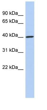 Western blot - DDI1 antibody (ab90824)