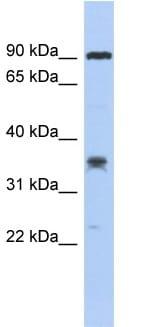 Western blot - C6ORF154 antibody (ab90894)