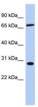 Western blot - SFRS7 antibody (ab90914)