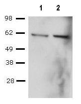 Western blot - T-bet / Tbx21 antibody [39D, 3-9D] (ab91103)