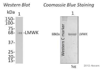 Western blot - LMW Kininogen protein (Human) (ab91118)