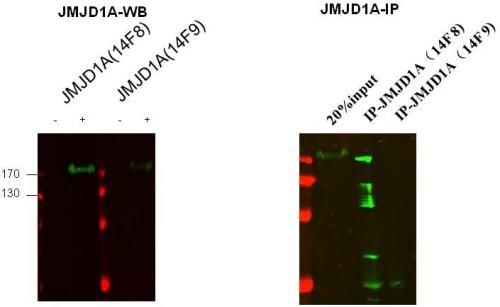 Western blot - KDM3A / JHDM2A antibody [14F8] (ab91252)