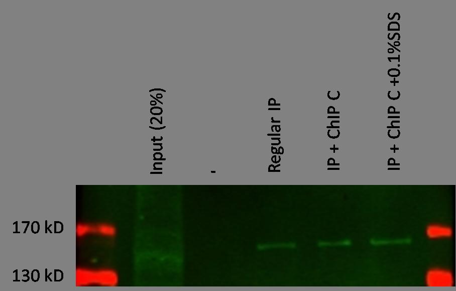 Immunoprecipitation - KDM3A / JHDM2A antibody [14F8] (ab91252)