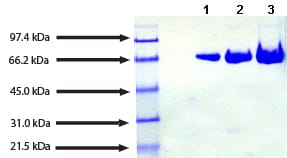 SDS-PAGE - Transferrin protein (Human) (ab91435)