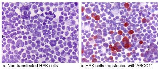 Immunocytochemistry - ABCC11 antibody [M8I-74] (ab91452)