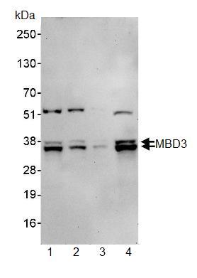 Western blot - MBD3 antibody (ab91458)