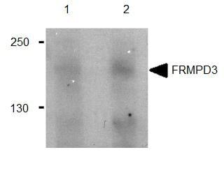 Western blot - FRMPD3 antibody (ab91527)