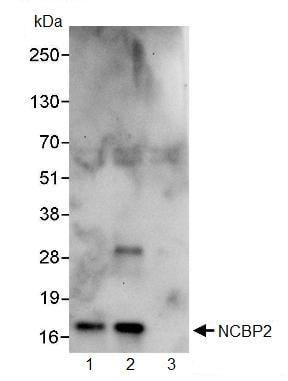 Immunoprecipitation - NCBP2 antibody (ab91560)