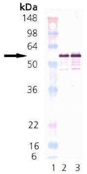 Western blot - Calreticulin protein (Human) (ab91577)