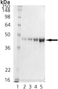 SDS-PAGE - DnaJ protein (Active) (ab91598)