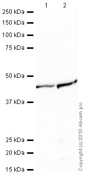 Western blot - NOTCH4 antibody (ab91621)