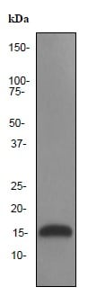 Western blot - Lysozyme antibody [EPR2995] (ab91653)