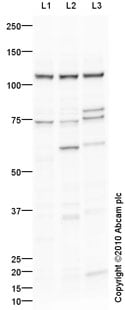 Western blot - NLRX1 antibody (ab91659)