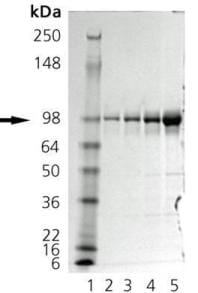 SDS-PAGE - GRP94 protein (ab92290)