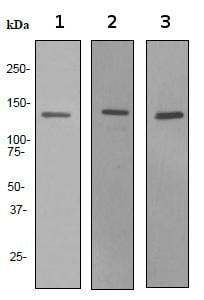 Western blot - Lipin 1 antibody [EPR3725] (ab92316)